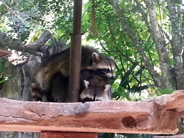 racoon-duo