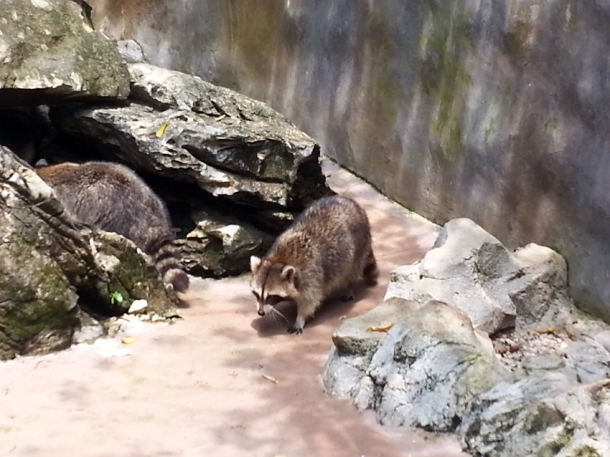 racoon1a